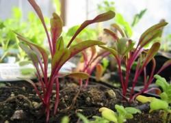 Как я выращиваю хороший урожай свеклы