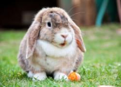 Определяем здоровье кролика по цвету мочи