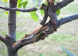 Рак убивает каждый год 7-10 % молодых яблонь
