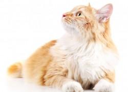 Почему любимая кошка облысела