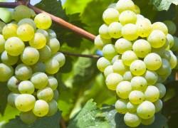 Сорта винограда, от которых можно отказаться