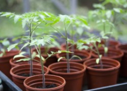 О помидорах для начинающих