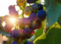 Что категорически нельзя делать на винограднике