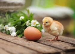 Как выбрать яйца для инкубатора