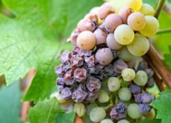 Не спешите нагружать виноград
