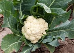 Советы по выращиванию цветной капусты