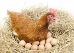 Пропаиваем кур для отличной яйценоскости