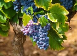 Биопрепараты на винограднике