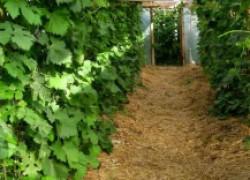 Как правильно и чем мульчировать виноград