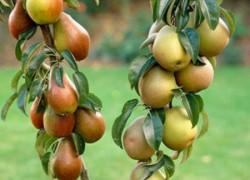 Сюрпризы «колонновидной груши»