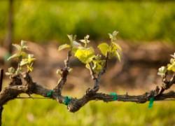 Что важно сделать весной на винограднике