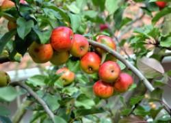 Яблони большие, а плодов не дают