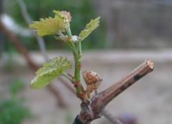 Холостые побеги на винограде: почему почка не закладывает соцветие