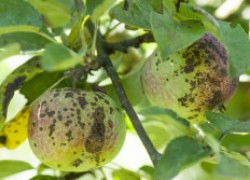 Мучнистая роса, парша, мухосед и другие болезни яблонь