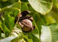 Почему орехи сохнут