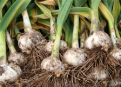Рокамболь – витаминный брат лука и чеснока