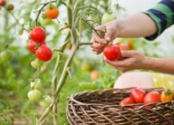 Как я ухаживаю за томатами