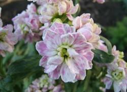 Маттиола – аромат духов в саду