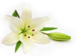 Размножение лилий весной