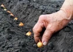 Как правильно посадить лук