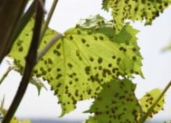Самые опасные вредители винограда