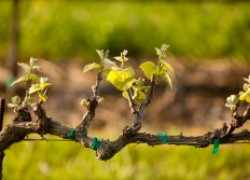 Весенние проблемы с виноградом