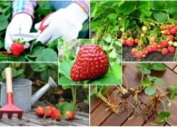 Лучшие натуральные удобрения для земляники