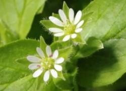 Мокрица – идеальное растение для красоты и здоровья