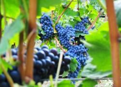 Виноград: система Шарова