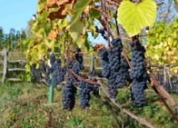 Виноград: поход на Север