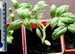 Наука о температурном режиме для томатов