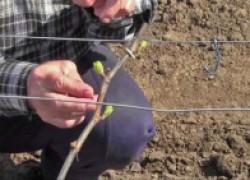 Уход за виноградом в первый год после посадки
