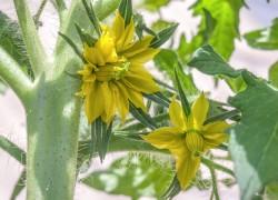 Избавляйтесь от уродов – удаляйте махровые цветки