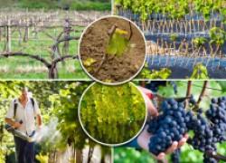 Виноград: работа над урожаем
