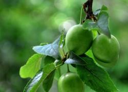 Секреты завязывания плодов