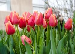 Пора выкапывать тюльпаны