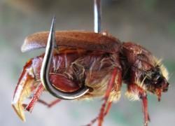 Как ловить рыбу на майского жука