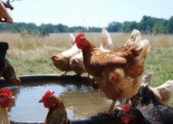 Кормление кур в жару и что добавлять в воду