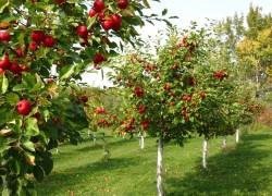 Яблоню от яблони подальше