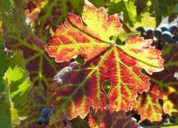 Красные листья у винограда. Что делать?
