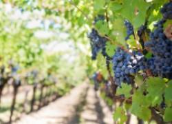 Нужна ли полынь на винограднике