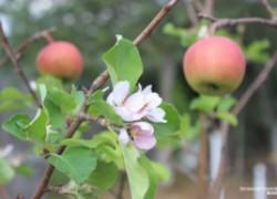 Почему яблони зацвели во второй раз