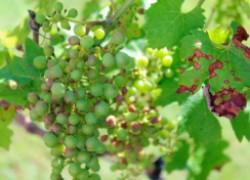 Антракноз на винограде: вредная пятнистость