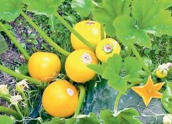 Апельсинка – «цитрусовый» кабачок