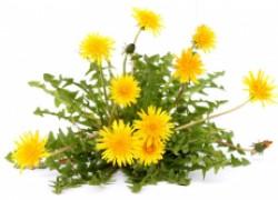Одуванчик полевой – целебное растение