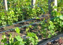 Подвязываем виноград правильно