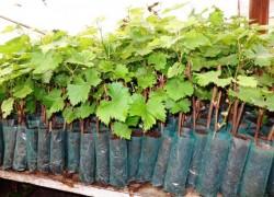 Почему «сидит» виноград