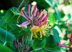 Жимолость каприфоль – аромат парфюма в саду