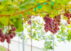 Виноград в теплице: необходимость или роскошь