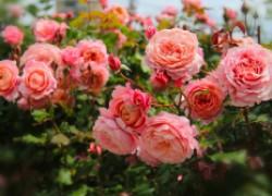 Защищаем наши розы
